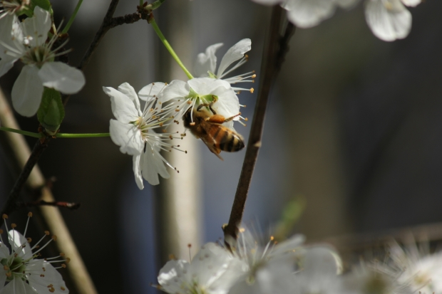 Bee with pollen on blossom