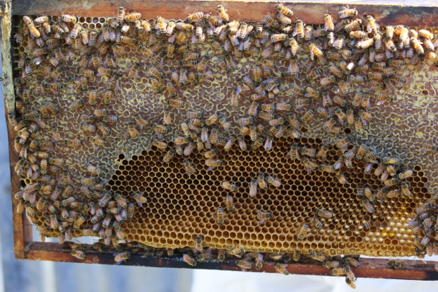Bees on comb