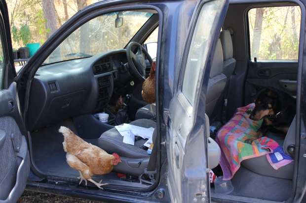 Dee and chickens in car
