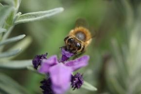 Honeybee on lavender macro