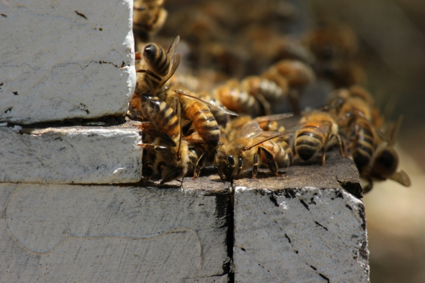 Bees on landing board of hive