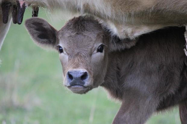 Calf under mother