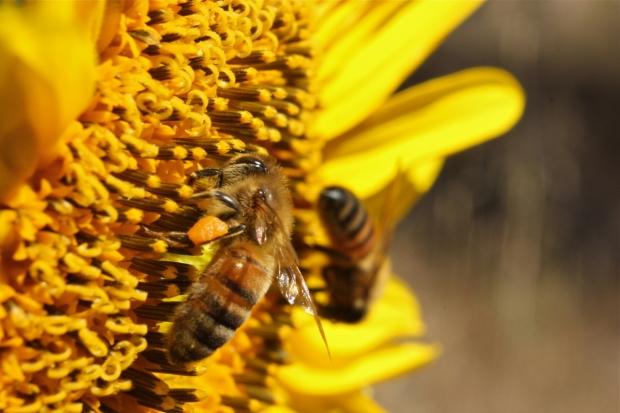 Bees on sunflower macro 2