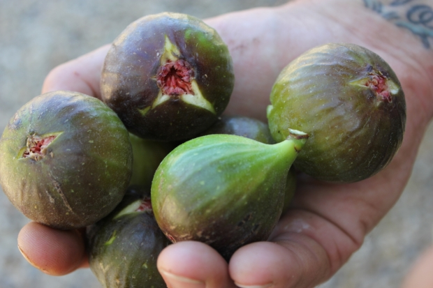 A fistful of foraged figs.