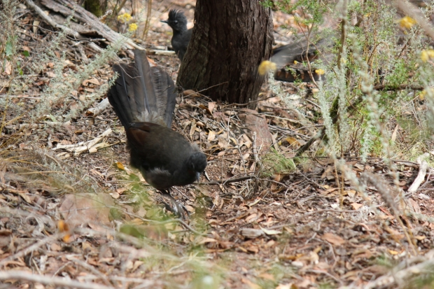 The female Lyrebird in front, while one of the males singes to her from behind a tree.