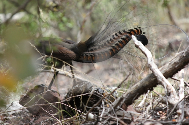 The lyre-shaped tail that gives the Superb Lyrebird its name.