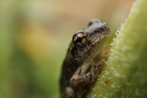 Peron's tree frog 2