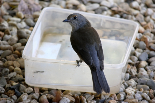 Communing with the resident wildlife: this young shrike thrush drinks and bathes in this container of water just outside our front door.